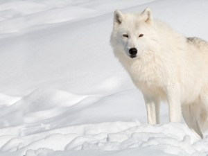 arctic-wolf-rs-wallpaper-1600x1200